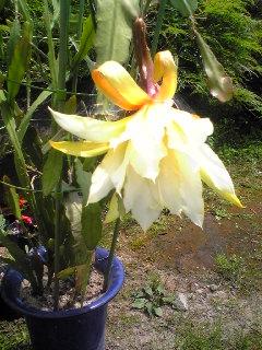 サボテンの花1