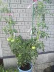 2011年7月・バケツ菜園のトマト