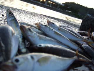 10小柴 鯵 釣り 八景島