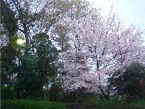 やまびこ桜