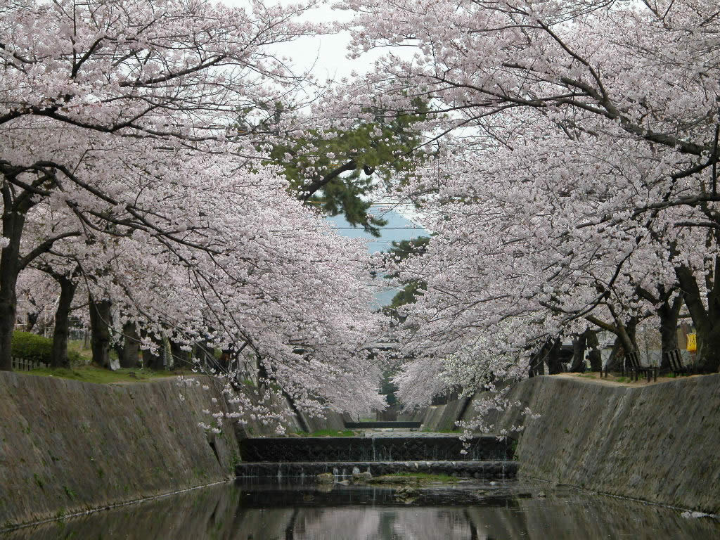 ちょっと拝借してきた夙川公園の桜