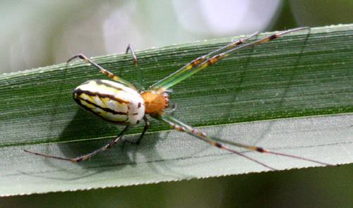 チュウガタシロカネグモ