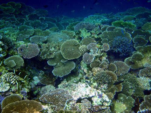 西表深サンゴ4