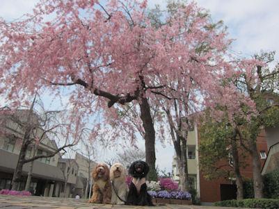 2011.4.10桜とくるなつあず