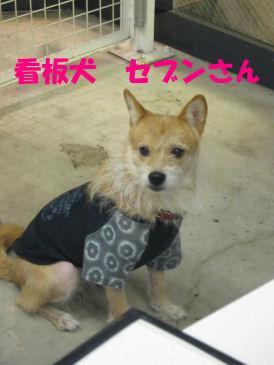 2010.9.12看板犬セブンさん