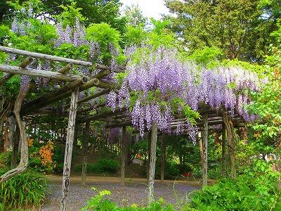 丸瀬布の藤園