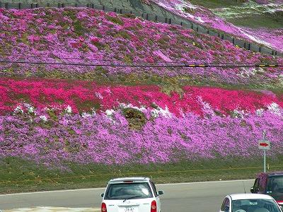 色づくシバザクラ山