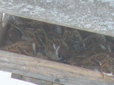 sparrow kanasugi