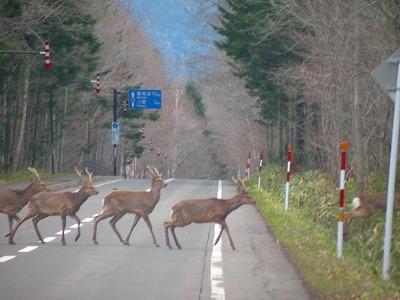 鹿の群れ横断中