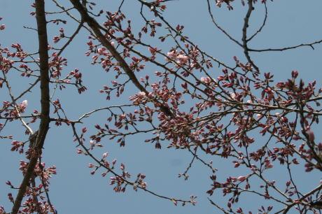 IMG_8442桜2