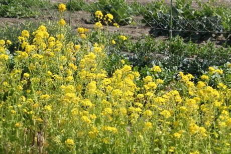IMG_8438菜の花