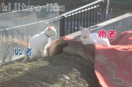 IMG_6025白猫4