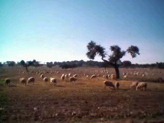 スペインの羊
