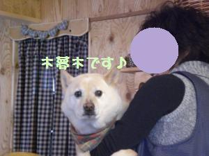 看板犬木夢木(こむぎ)
