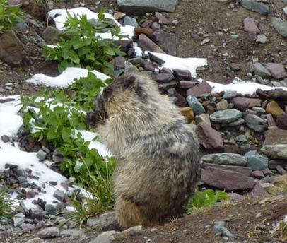 marmot-yoko.jpg