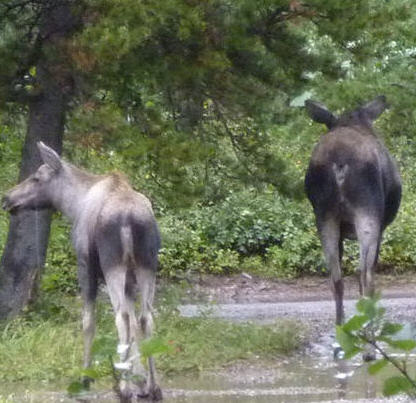 moose2.jpg