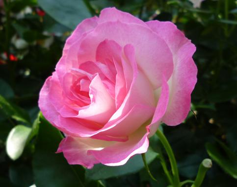pink-rose2.png