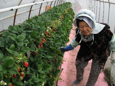 苺のおばあさん