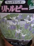 Lavender Little Bee