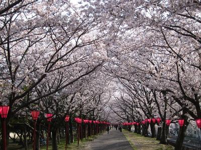 20120413_桜のトンネル1
