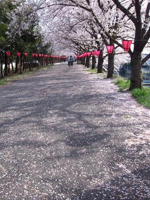 20120413_桜のトンネル2