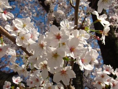 20120413_桜のトンネル3