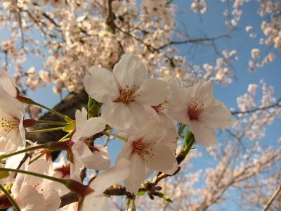 20120413_桜のトンネル4