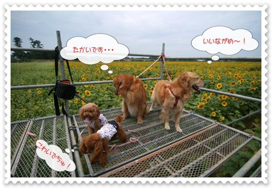 8,6ひまわり畑9
