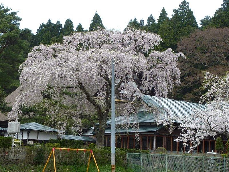 天徳寺しだれ桜