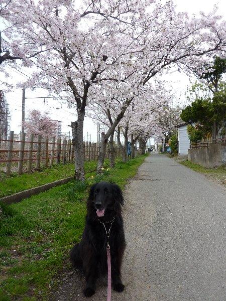 自転車道桜