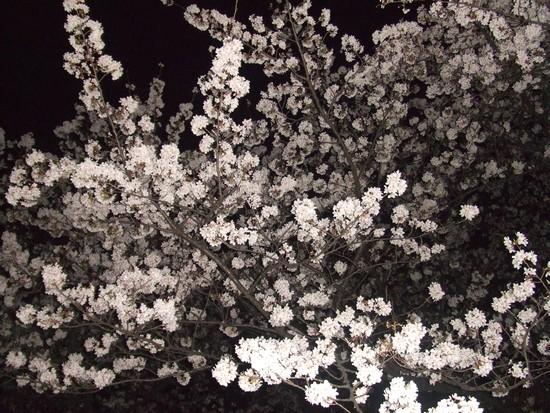 201043sakurayoru.jpg