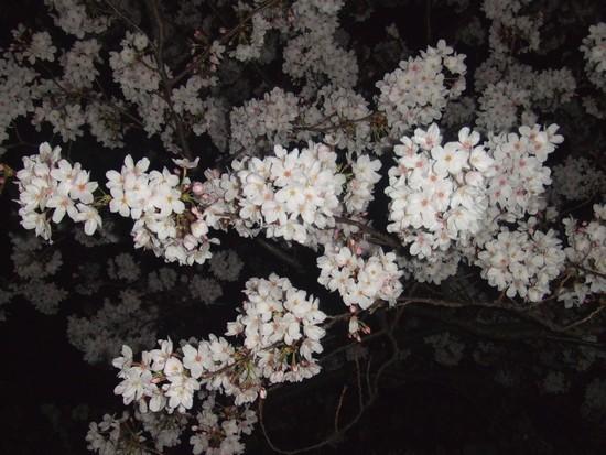 201043sakurayoru2.jpg