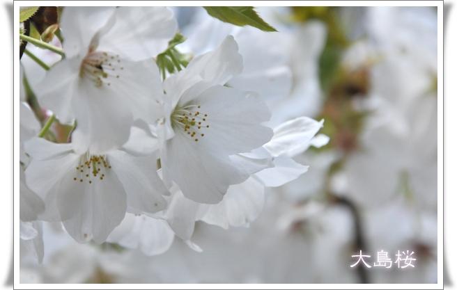 大島桜.jpg