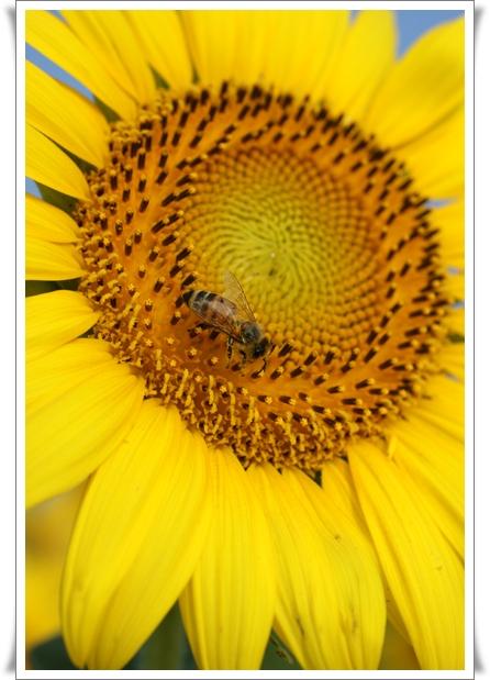ハチとひまわり.jpg