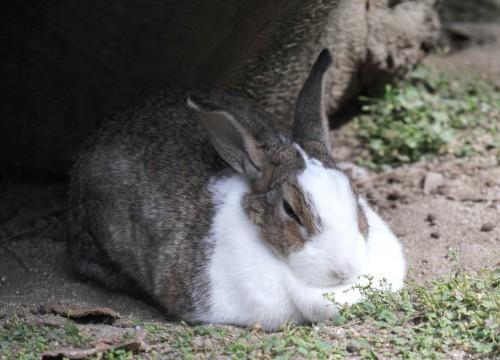 フリー素材のサイト様から頂いた「寝てるウサギ4」画像