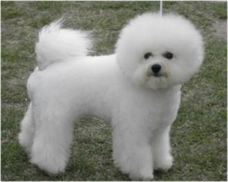 ビション・フリーゼ♀のBOB犬。
