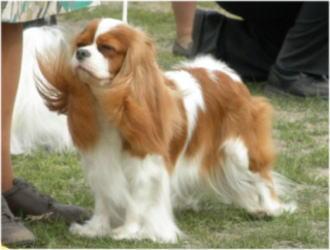 キャバリアの♀BOB犬。