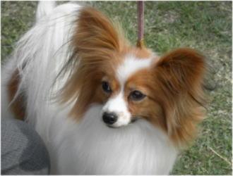 パピヨン♀のBOB犬。