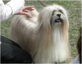 ラサ・アプソ♂のBOB犬。