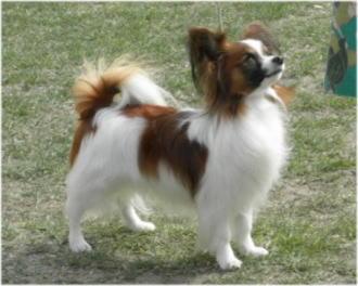パピヨン♂のBOB犬。