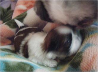 子犬を舐めるお嬢。