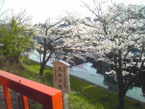 Sakura at Inari Kyoto