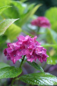 6月23日紫陽花ウルトロンPICT3516