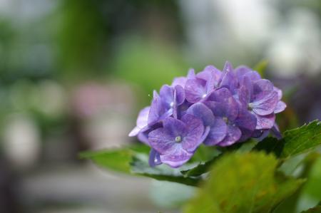 6月23日紫陽花ウルトロンPICT3515