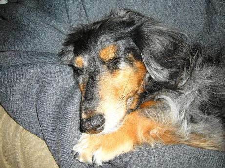 母犬寝てる