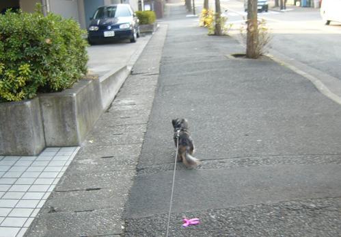 娘犬散歩中