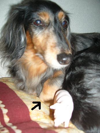 母犬と豚、手が折れてる