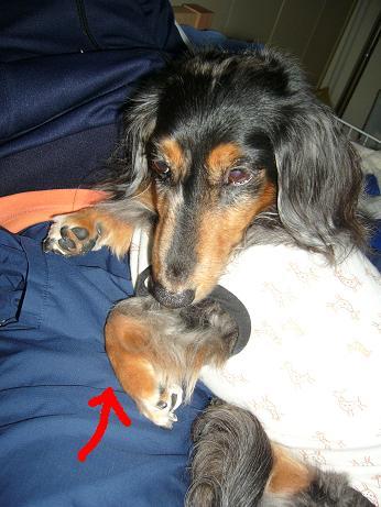 母犬いつも手が折れてる