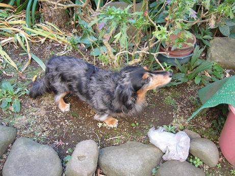 母犬実家の庭で