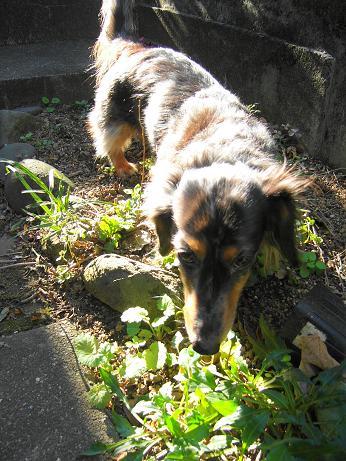 娘犬実家の庭で